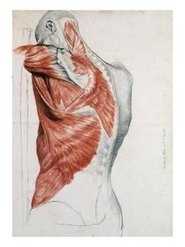 Human-Anatomy-shoulder