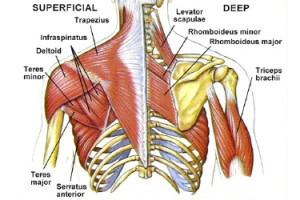 backanatomy
